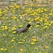 American Robin Among Dandelions Art Print