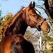 American Saddlebred Stallion Art Print