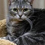 American Shorthair Cat Portrait Art Print by Amy Cicconi