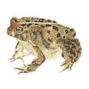 American Toad Art Print
