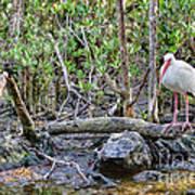 American White Ibis Art Print