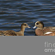 American Widgeon Pair Art Print