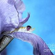Amethyst Iris Art Print