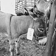 Amish Donkey At Action Art Print