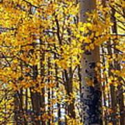Among The Aspen Trees In Fall Art Print
