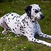 Among The Daisies. Kokkie. Dalmation Dog Art Print