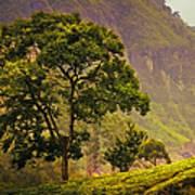 Among The Mountains And Tea Plantations. Nuwara Eliya. Sri Lanka Art Print