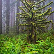 Among The Redwoods Art Print