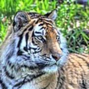 Amur Tiger 5 Art Print