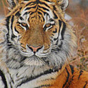 Amur Tiger Magnificence Art Print