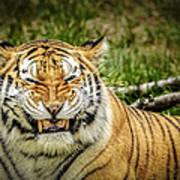 Amur Tiger Smile Art Print