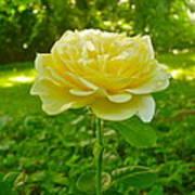Amy's Texas Yellow Rose Art Print
