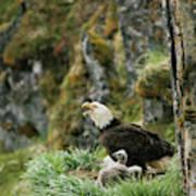 An American Bald Eagle And Chicks Art Print