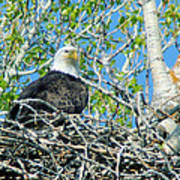 An Eagle In Its Nest  Art Print