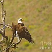 An Eagle Stretching Its Wings Art Print