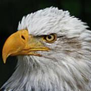 An Eagle's Portrait Art Print