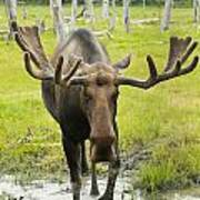 An Elk Standing In A Puddle Of Water Print by Doug Lindstrand