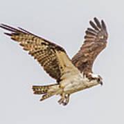 An Osprey Art Print