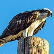 An Osprey Calling Art Print