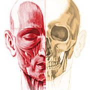 Anatomy Of A Male Human Head, With Half Art Print by Leonello Calvetti