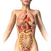 Anatomy Of Female Body With Internal Art Print