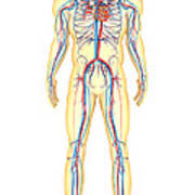 Anatomy Of Human Body And Circulatory Art Print by Stocktrek Images