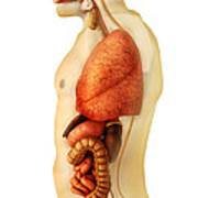 Anatomy Of Human Body Showing Whole Print by Stocktrek Images
