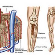 Anatomy Of Human Bone Marrow Art Print