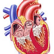 Anatomy Of Human Heart, Cross Section Art Print