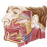 Anatomy Of Human Salivary Glands Art Print
