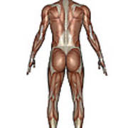 Anatomy Of Male Muscular System, Back Art Print