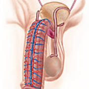 Anatomy Of Male Reproductive Organs Print by Stocktrek Images