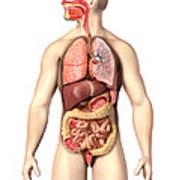 Anatomy Of Male Respiratory Art Print