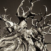 Ancient Bristlecone Pine In Black And White Art Print