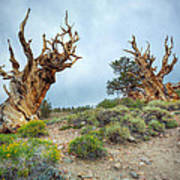 Ancient Bristlecone Pine Trees Art Print
