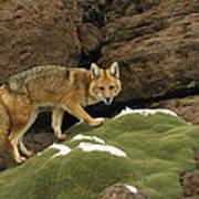 Andean Red Fox Altiplano Bolivia Art Print