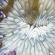 Anenomes 18 Art Print