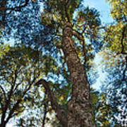 Angeles Sun -beautiful Tree With Sunburst In Angeles National Forest In The San Gabriel Mountails Art Print