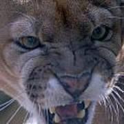 Angry Florida Panther Art Print