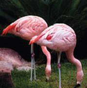 Animal - Flamingo - A Set Of Flamingoes Art Print