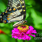 Anise  Swallowtail Butterfly Art Print
