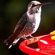Anna's Hummingbird On Perch Art Print
