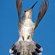 Anna's Hummingbird Tail Display Art Print