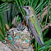 Annas Hummingbird With Young Art Print