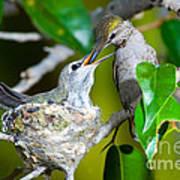 Annas Hummingbirds At Nest Art Print