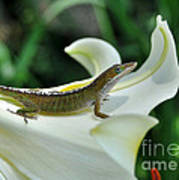 Anole On A White Lily Art Print