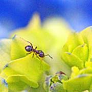 Ant And Hydrandea Art Print
