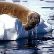 Antarctic Crabeater Seal Art Print