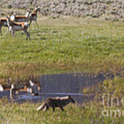 Antelope   Duck   And Coyote Art Print