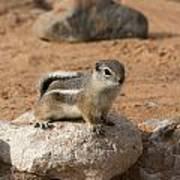 Antelope Ground Squirrel Art Print